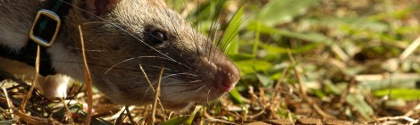 Hero Rats:  Sniffing Out Landmines