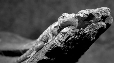 What Can a Lizard Tell Us About Human Mental Health?