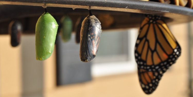 Cocoons lined up (from left to right): an early-stage chrysalis, a late-stage chrysalis, and a monarch butterfly.
